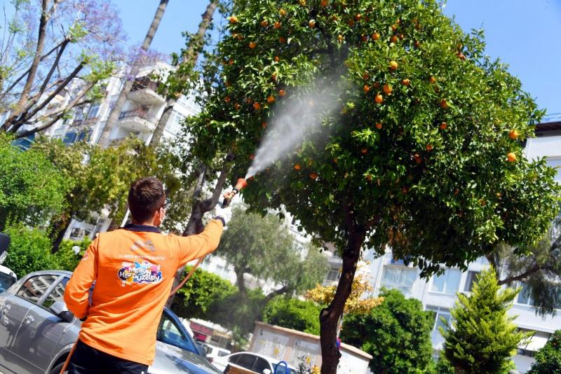 Mersin'de Akdeniz Meyve Sineği ile mücadele sürüyor