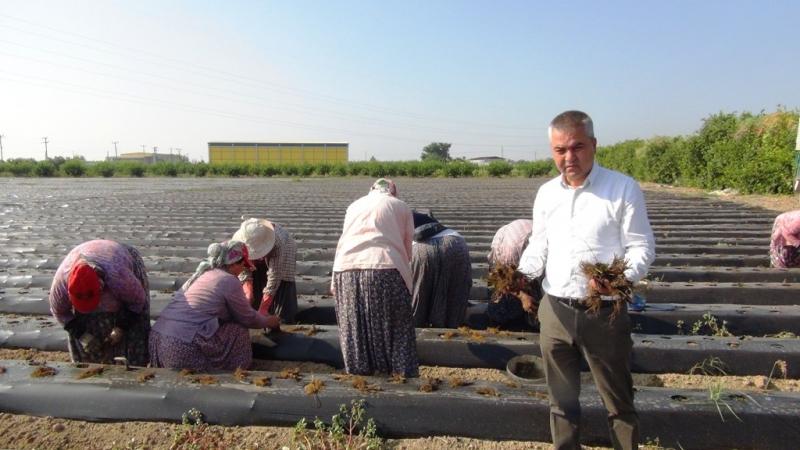 Silifke'de çilek fideleri toprakla buluşuyor