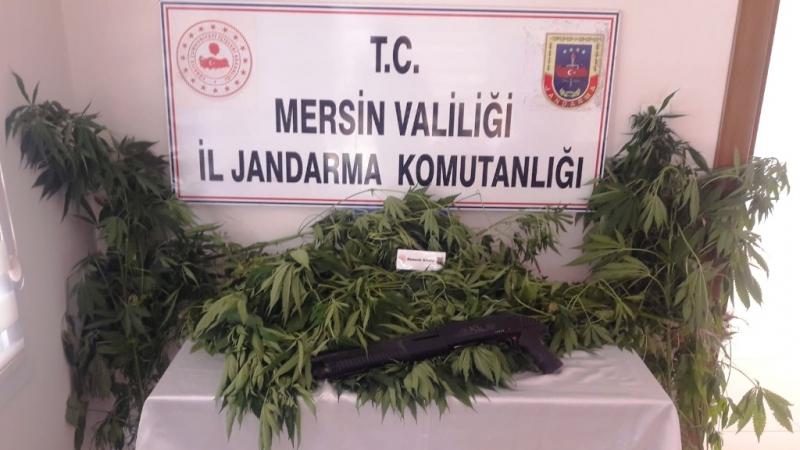 Tarsus'ta 84 kök kenevir bitkisi ele geçirildi